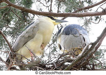 heron nest - Two herons in their nest.