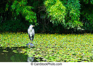 Heron on a pond with lilies.