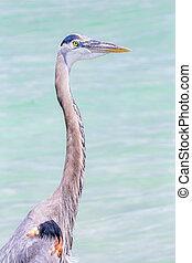 Heron Profile and Aqua Waters - A great blue heron,...
