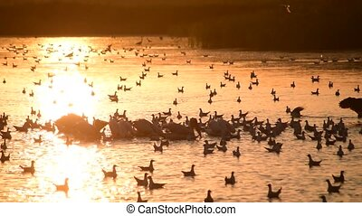 Heron silhouette alighting on water among pelicans and...