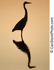 Heron Silouette - great white heron silouetted on a golden...