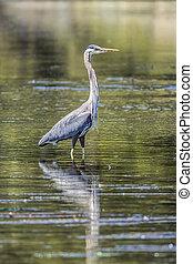 Heron standing in the water.