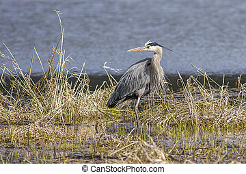 A large great blue heron stands in a marsh area in Hauser, Idaho.