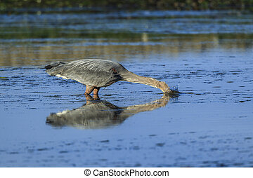 Heron strikes in water for a fish.