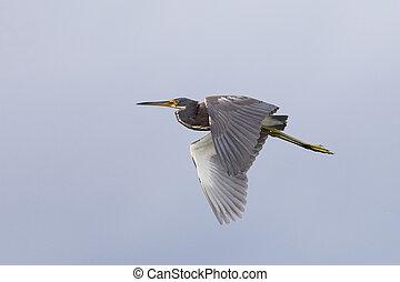 heron tricolored, vôo, -, merritt, ilha, refúgio vida selvagem, flórida