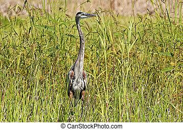 Heron wading in marsh