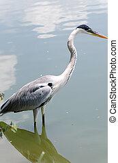 gray heron hunting in a pond in Brazil