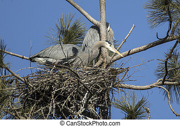 Herons in a nest on a clear day. - Great blue herons in a ...