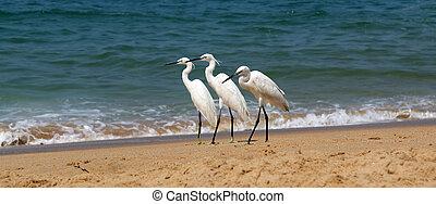 Herons on a sandy beach near the ocean. Kerala, South India