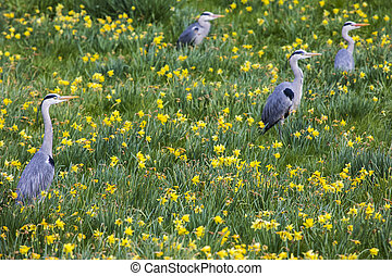 Herons sitting in the grass amongst Daffodils.