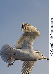 Herring gull close-up in flight. Copy space.