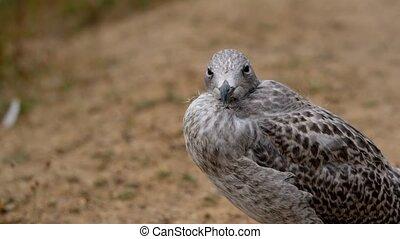Herring Gull - cub in a detail shot - slow motion - Herring...