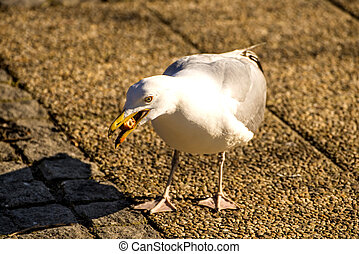 herring gull in a pedestrian area in Poland feeds bread