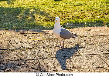 herring gull in a pedestrian area in Poland