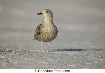 Herring gull, juvenile, standing on the snow, close up