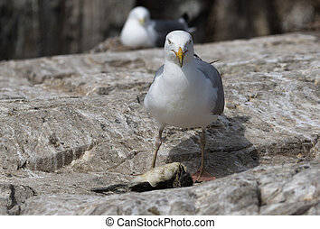 Herring gull killing a Guillemot chick