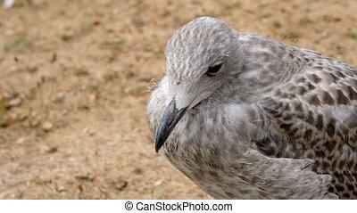 Herring Gull - Larus argentatus - cub in a detail shot