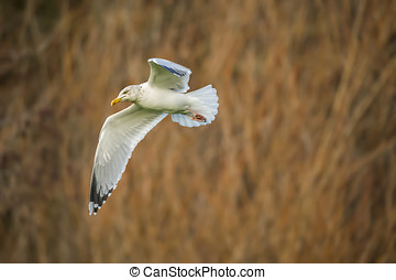 Herring gull, Larus argentatus, flying in front of reeds