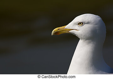 Herring gull (Larus argentatus) head in close up profile with copy space.