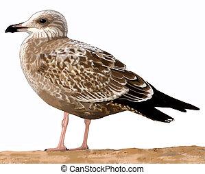Herring Gull - Larus argentatus - juvenile