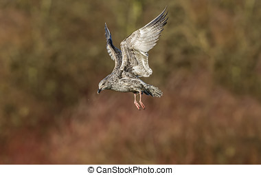 Herring gull, Larus argentatus, juvenile, in flight, close-up