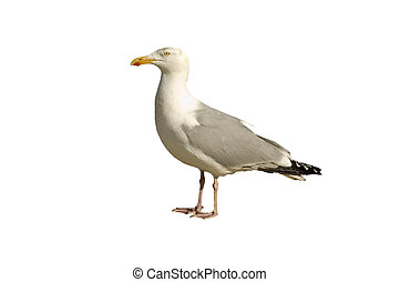A common Herring gull isolated on white