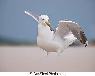 Herring gull raising it's wings - Herring gull (larus...