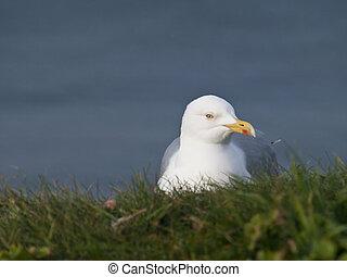 Herring Gull Resting