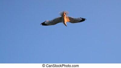Herring Gull, Sea Gull, Gull, Birds. Blue sky background.