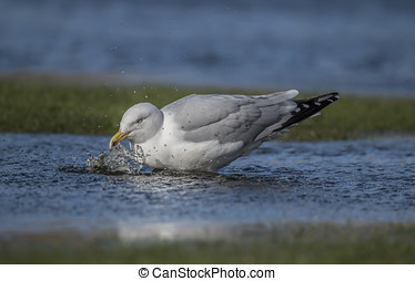 Herring gull, splashing in a puddle, close up