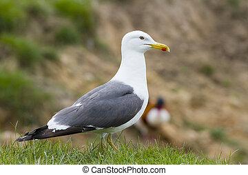 Herring Gull standing on grass close up