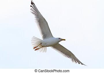 herring gull ( Larus argentatus ) with wings spread over sky
