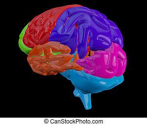 hersenen, aangepunt, gedeeltes