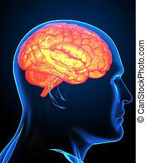hersenen, beeld, menselijk, rontgen