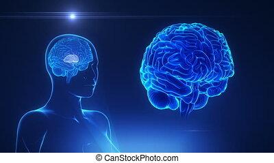 hersenen, concept, thalamus, vrouwlijk, lus