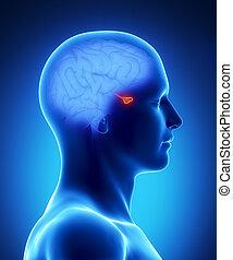 hersenen, deel, -, pituary, menselijk