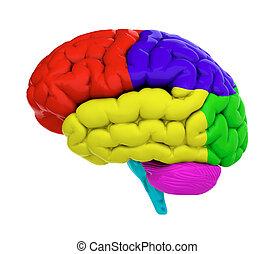 hersenen, gekleurde