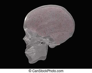 hersenen, geopenbaarde, transparant, schedel