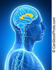 hersenen, mannelijke