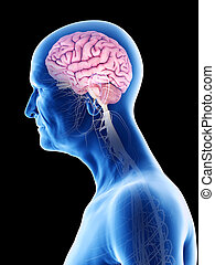hersenen, mannen, oud, zenuwbaan