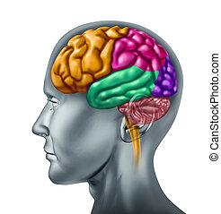 hersenen, menselijk