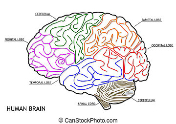 hersenen, menselijk, structuur