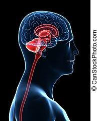 hersenen, onderdelen, menselijk