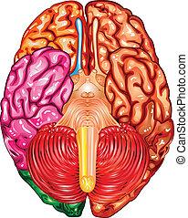 hersenen, vector, menselijk, onderkant, aanzicht