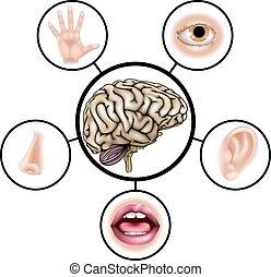 hersenen, zintuigen, vijf