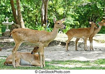 hertje, wenkbrauw, antlered, groep, dierentuin