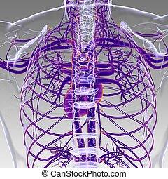 herz, system, 3d, begriff, übertragung, koerperbau, zirkulierend, menschliche , medizin