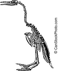 Hesperornis skeleton, vintage engraving.