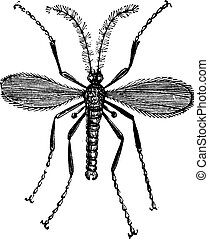 Hessian fly, Barley midge, Mayetiola destructor or Cecidomyia destructor vintage engraving. Old engraved illustration of a Hessian Fly isolated against a white background.