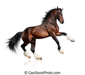 hest, bugt, hvid, isoleret